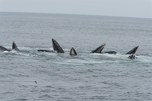 bubble feeding humpbacks