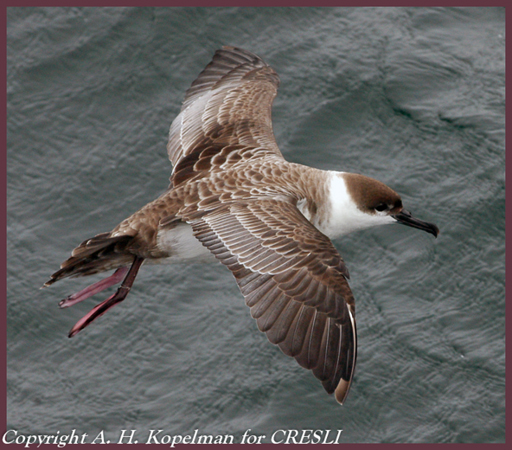 Coastal & Pelagic Birds