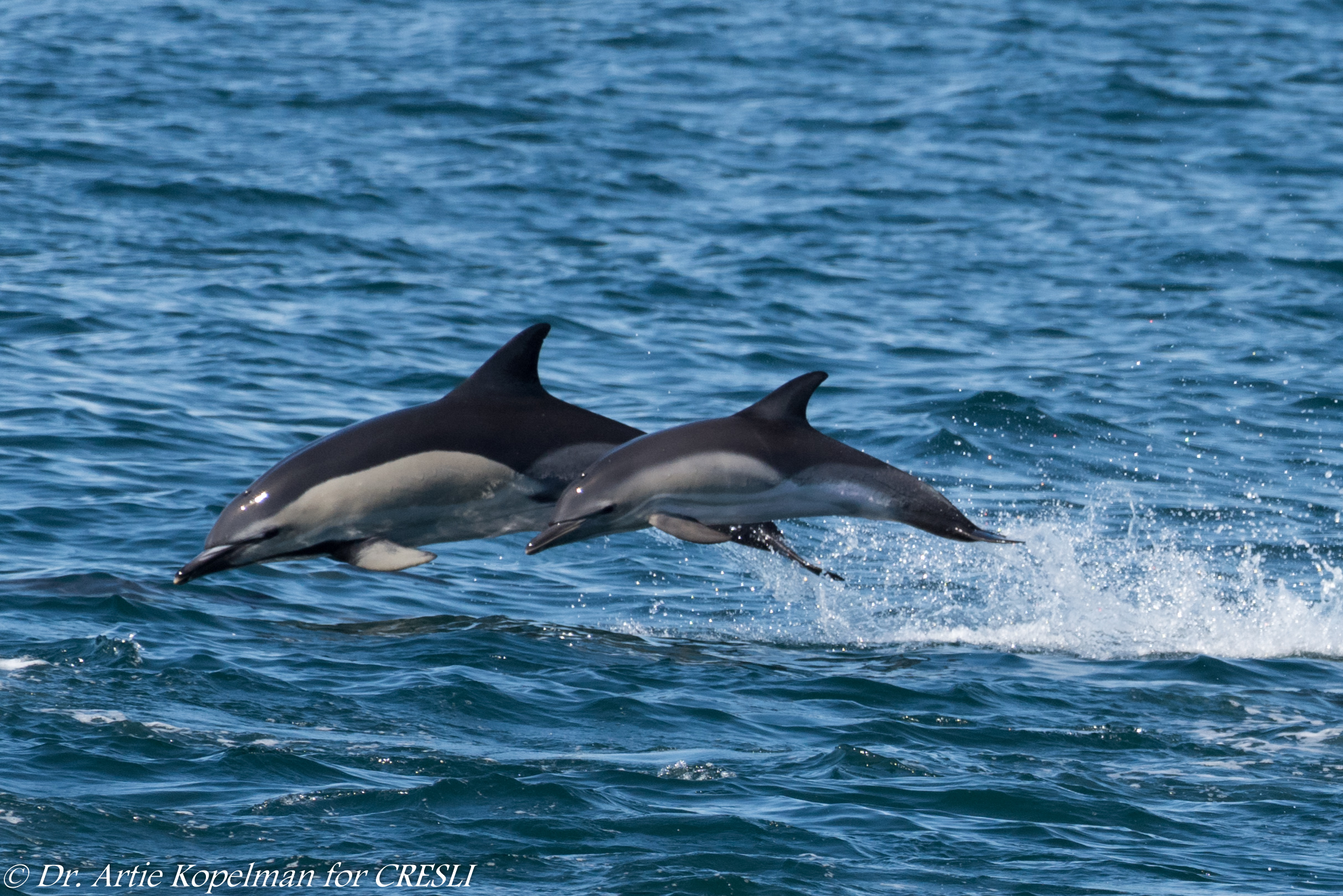 Mom and calf Short-beaked Common Dolphins